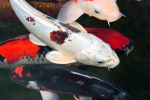 Koi_Carp newsletter